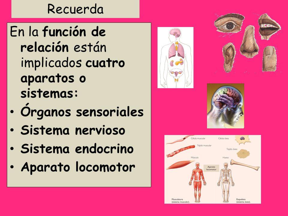 Recuerda En la función de relación están implicados cuatro aparatos o sistemas: Órganos sensoriales.