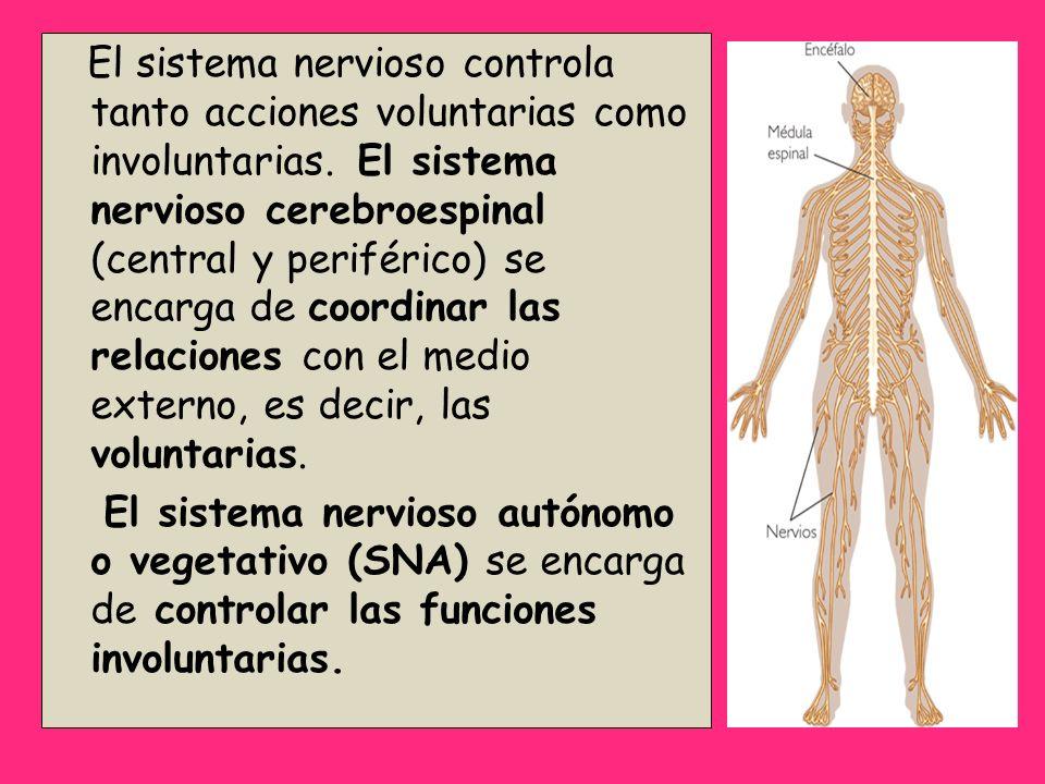 El sistema nervioso controla tanto acciones voluntarias como involuntarias. El sistema nervioso cerebroespinal (central y periférico) se encarga de coordinar las relaciones con el medio externo, es decir, las voluntarias.