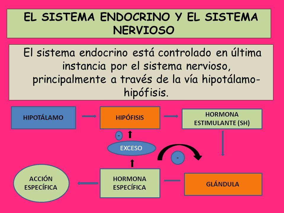 EL SISTEMA ENDOCRINO Y EL SISTEMA NERVIOSO HORMONA ESTIMULANTE (SH)