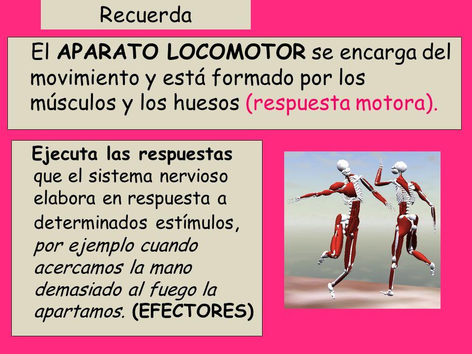 Recuerda El APARATO LOCOMOTOR se encarga del movimiento y está formado por los músculos y los huesos (respuesta motora).