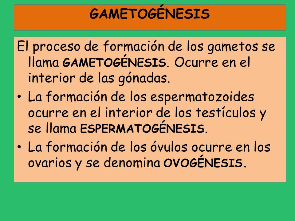 GAMETOGÉNESIS El proceso de formación de los gametos se llama GAMETOGÉNESIS. Ocurre en el interior de las gónadas.