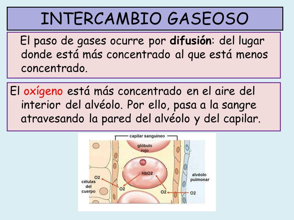 INTERCAMBIO GASEOSO El paso de gases ocurre por difusión: del lugar donde está más concentrado al que está menos concentrado.