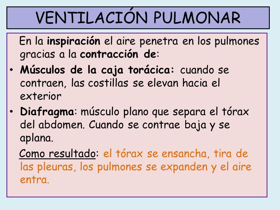 VENTILACIÓN PULMONAR En la inspiración el aire penetra en los pulmones gracias a la contracción de: