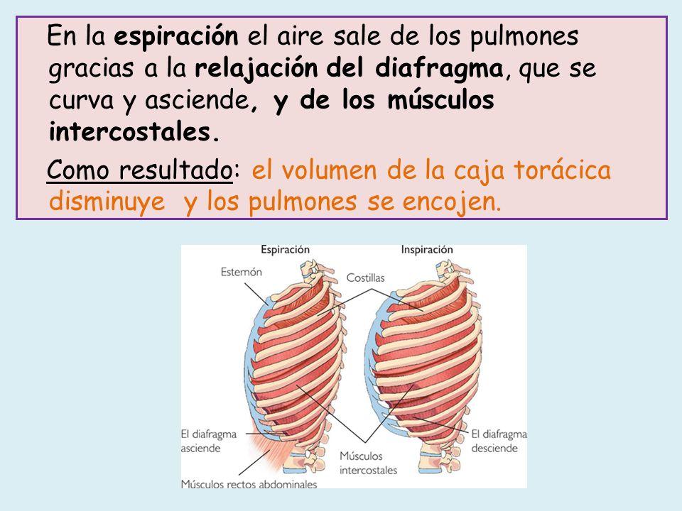 En la espiración el aire sale de los pulmones gracias a la relajación del diafragma, que se curva y asciende, y de los músculos intercostales.