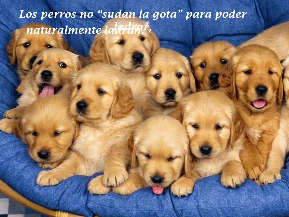 Los perros no sudan la gota para poder ladrar,