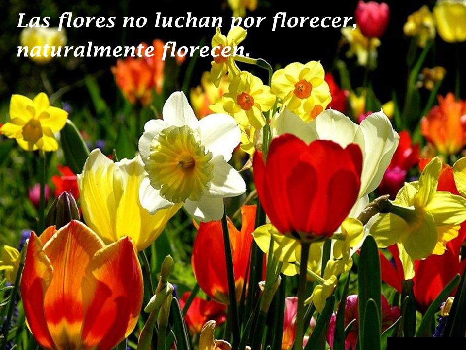Las flores no luchan por florecer,