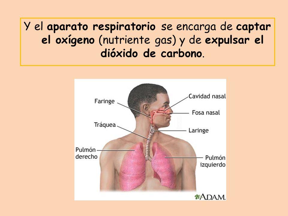 Y el aparato respiratorio se encarga de captar el oxígeno (nutriente gas) y de expulsar el dióxido de carbono.