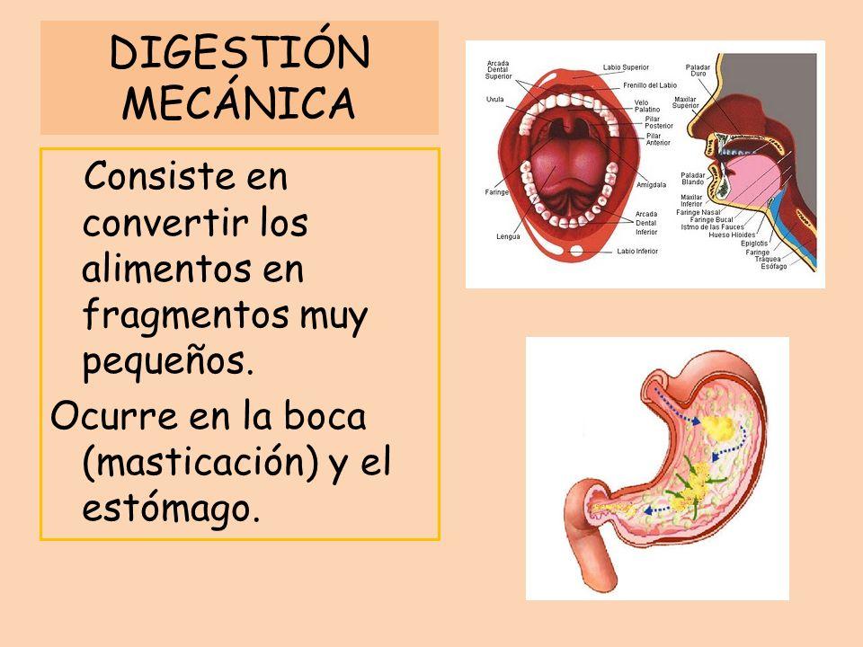 DIGESTIÓN MECÁNICA Consiste en convertir los alimentos en fragmentos muy pequeños.