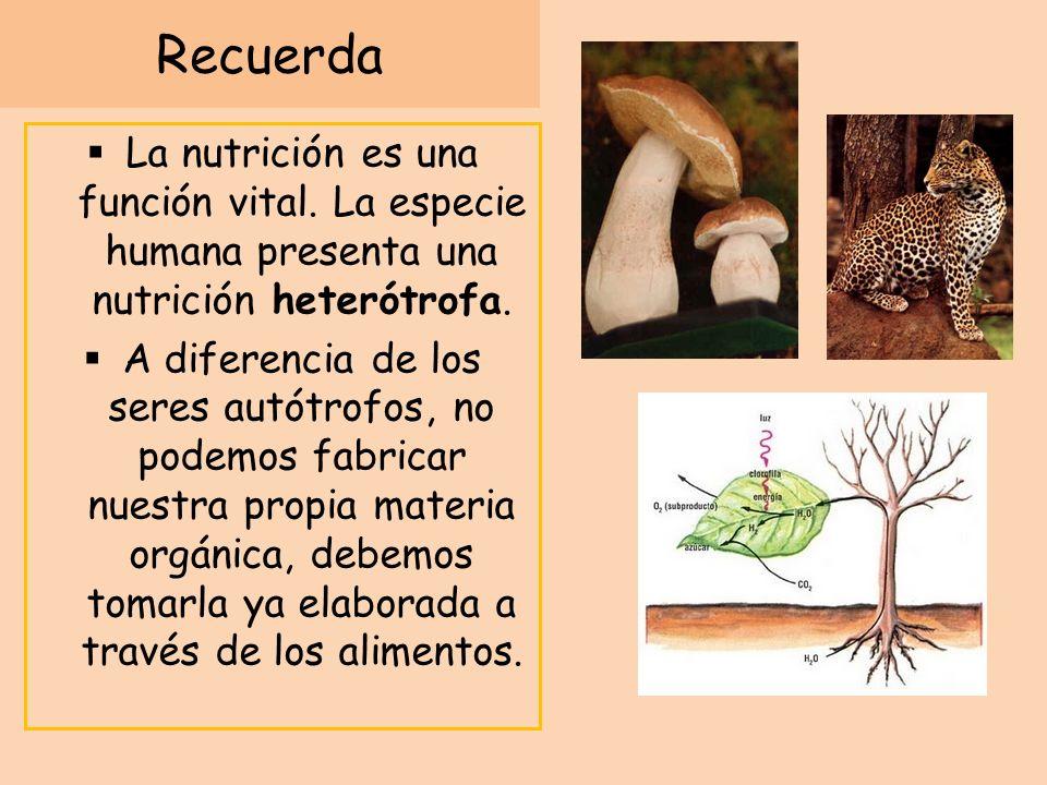 Recuerda La nutrición es una función vital. La especie humana presenta una nutrición heterótrofa.