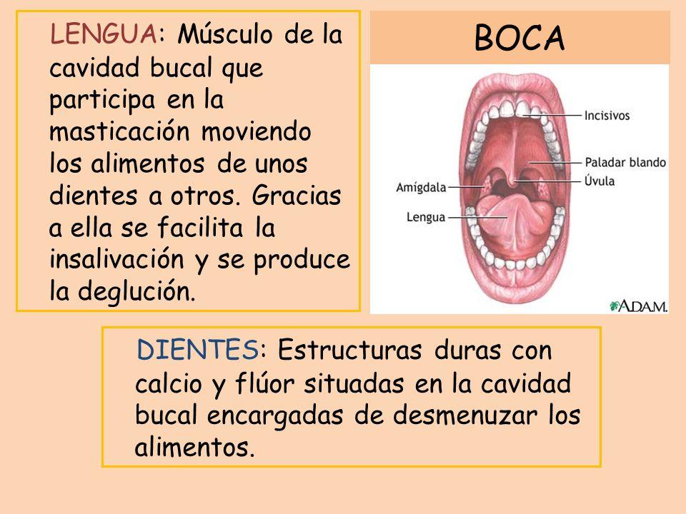 LENGUA: Músculo de la cavidad bucal que participa en la masticación moviendo los alimentos de unos dientes a otros. Gracias a ella se facilita la insalivación y se produce la deglución.
