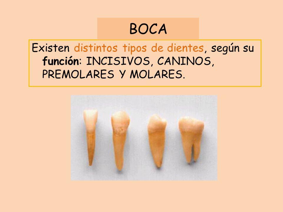 BOCA Existen distintos tipos de dientes, según su función: INCISIVOS, CANINOS, PREMOLARES Y MOLARES.