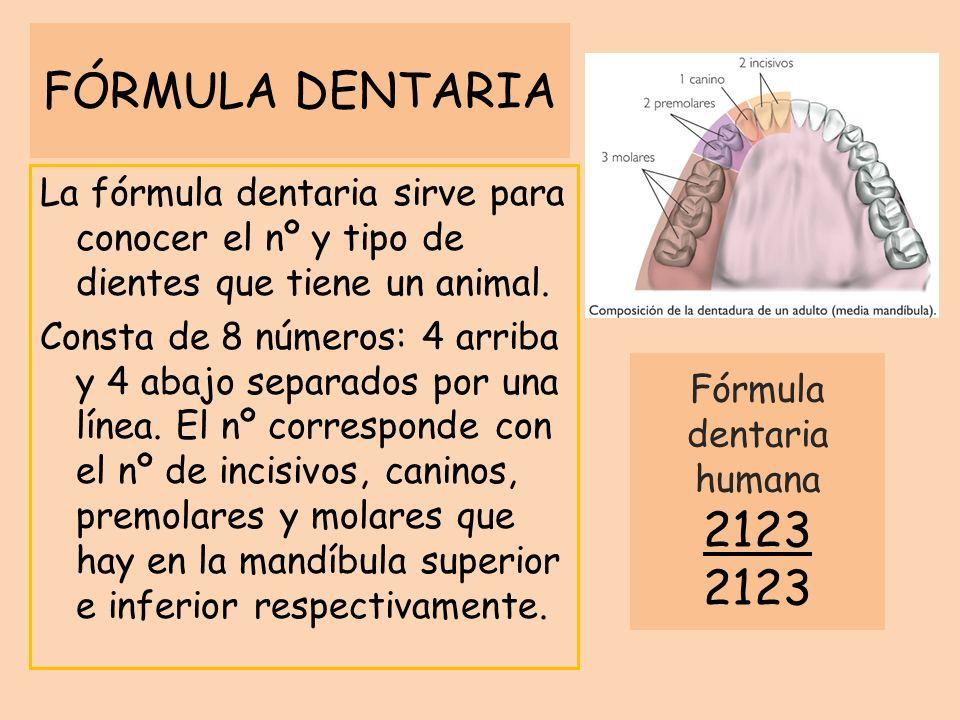 Fórmula dentaria humana