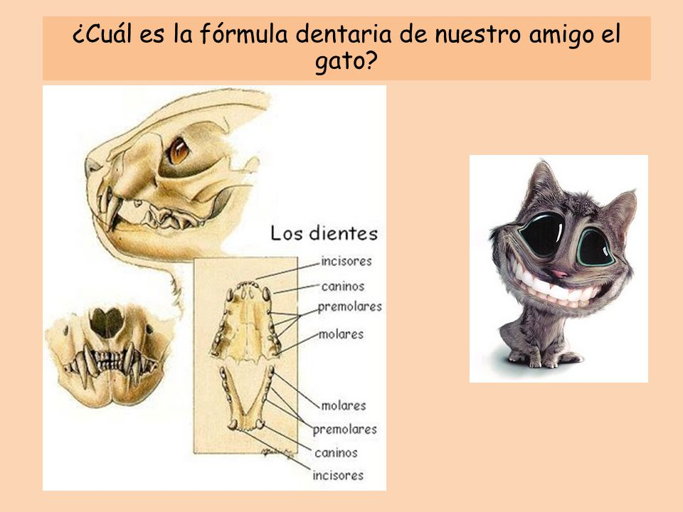 ¿Cuál es la fórmula dentaria de nuestro amigo el gato