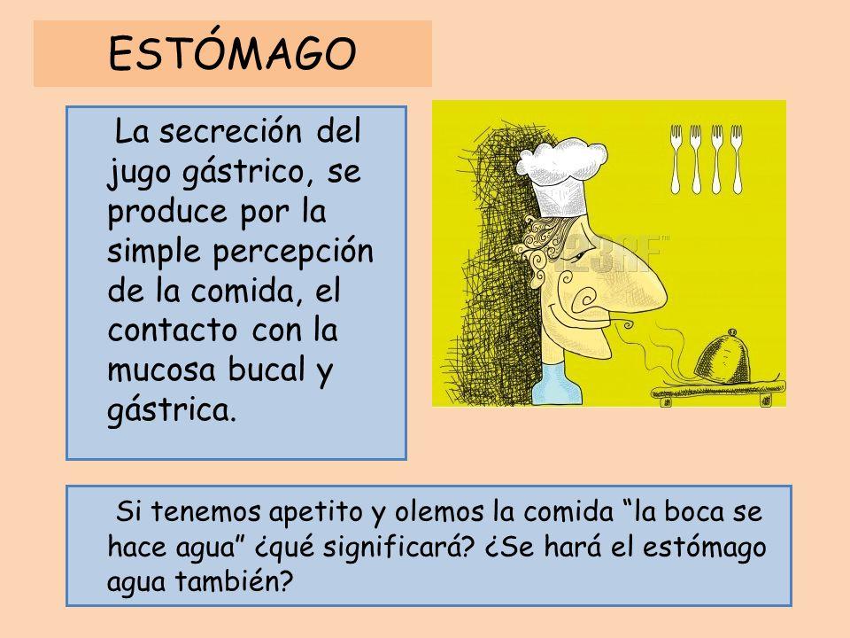 ESTÓMAGO La secreción del jugo gástrico, se produce por la simple percepción de la comida, el contacto con la mucosa bucal y gástrica.