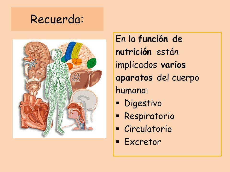 Recuerda: En la función de nutrición están implicados varios