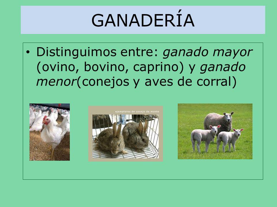 GANADERÍADistinguimos entre: ganado mayor (ovino, bovino, caprino) y ganado menor(conejos y aves de corral)