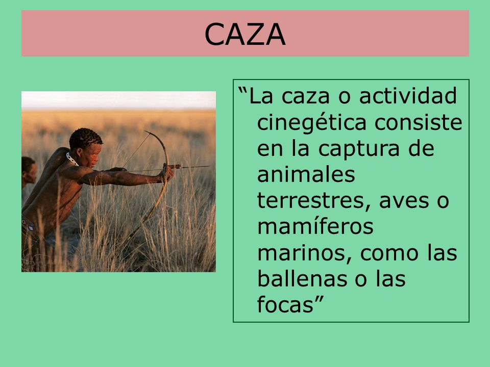 CAZA La caza o actividad cinegética consiste en la captura de animales terrestres, aves o mamíferos marinos, como las ballenas o las focas