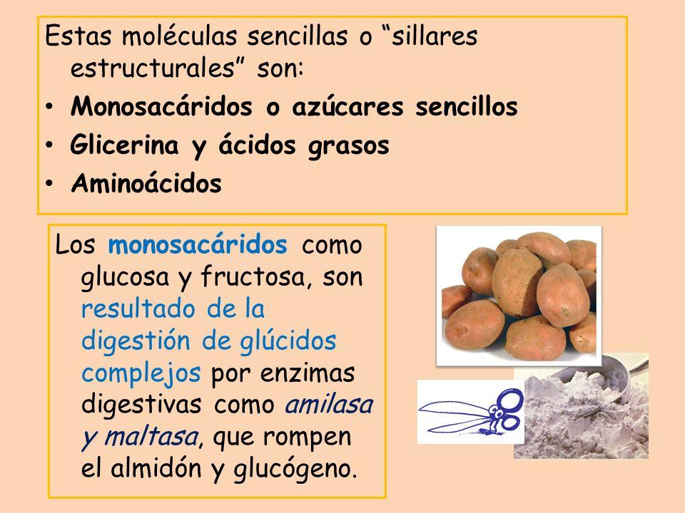 Estas moléculas sencillas o sillares estructurales son: