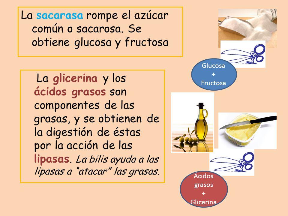 La sacarasa rompe el azúcar común o sacarosa