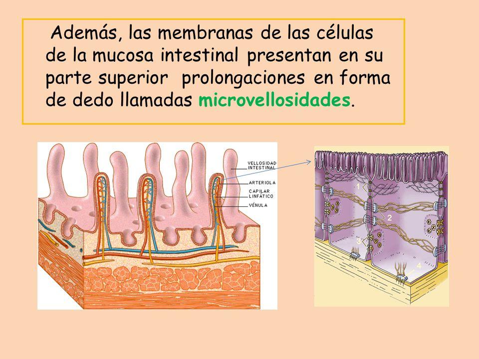 Además, las membranas de las células de la mucosa intestinal presentan en su parte superior prolongaciones en forma de dedo llamadas microvellosidades.