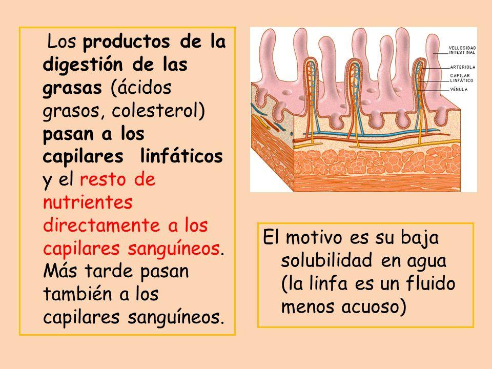 Los productos de la digestión de las grasas (ácidos grasos, colesterol) pasan a los capilares linfáticos y el resto de nutrientes directamente a los capilares sanguíneos. Más tarde pasan también a los capilares sanguíneos.