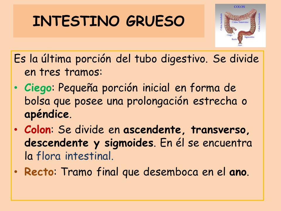 INTESTINO GRUESO Es la última porción del tubo digestivo. Se divide en tres tramos: