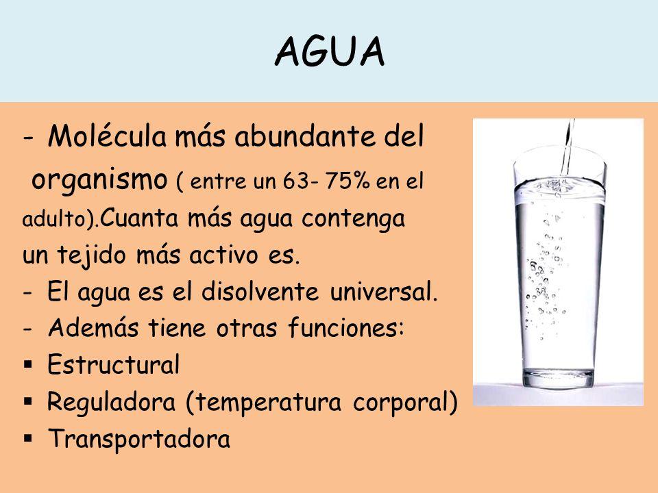 AGUA Molécula más abundante del organismo ( entre un 63- 75% en el