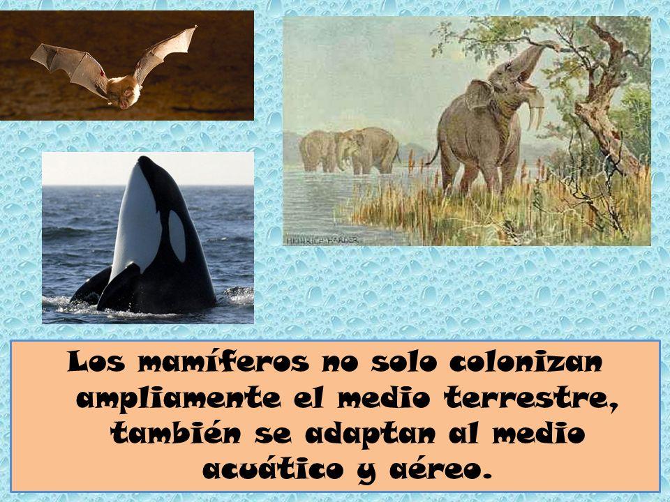 Los mamíferos no solo colonizan ampliamente el medio terrestre, también se adaptan al medio acuático y aéreo.