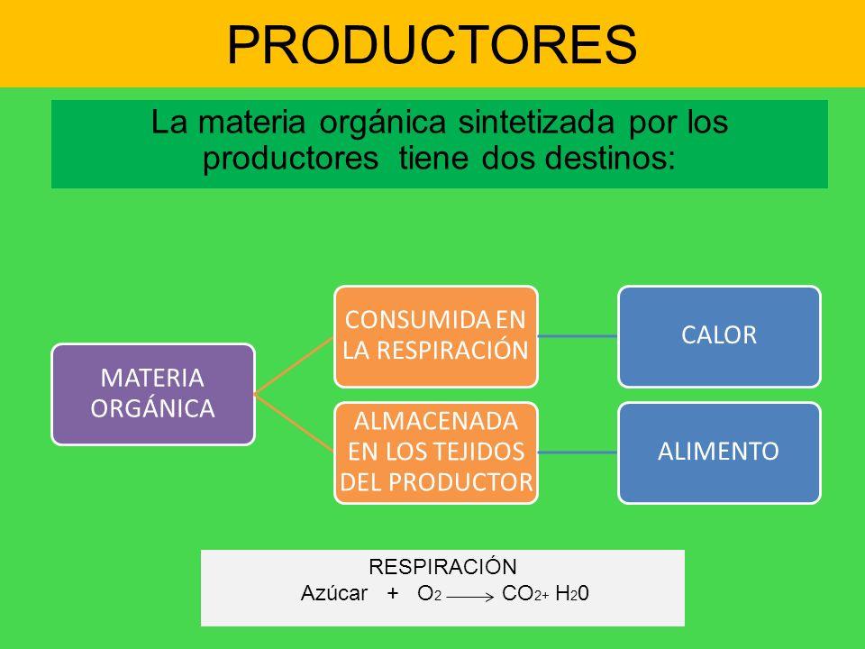 PRODUCTORES La materia orgánica sintetizada por los productores tiene dos destinos: MATERIA ORGÁNICA.