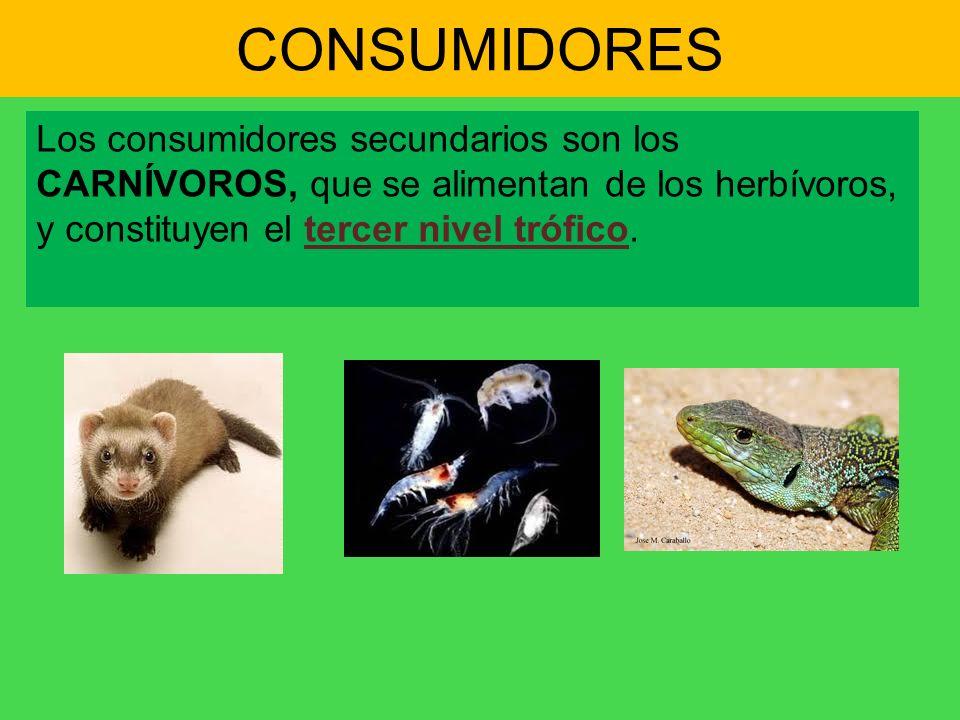 CONSUMIDORESLos consumidores secundarios son los CARNÍVOROS, que se alimentan de los herbívoros, y constituyen el tercer nivel trófico.
