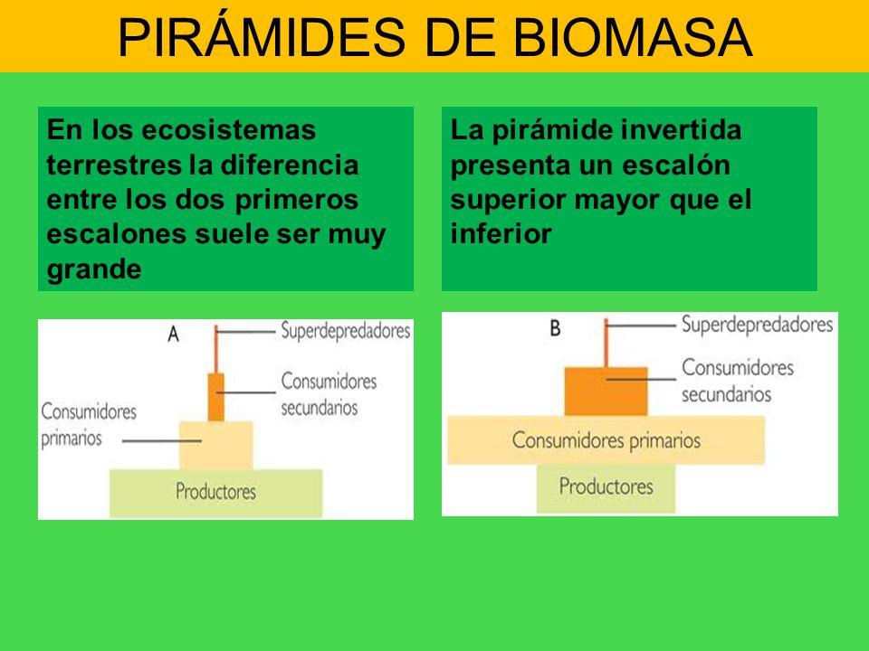 PIRÁMIDES DE BIOMASA En los ecosistemas terrestres la diferencia entre los dos primeros escalones suele ser muy grande.