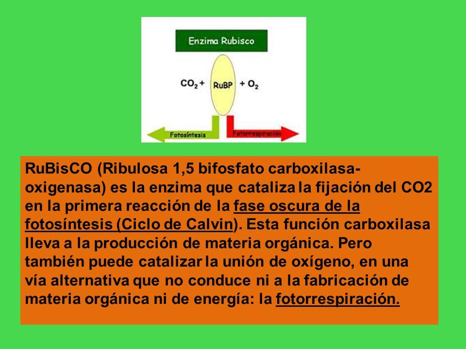 RuBisCO (Ribulosa 1,5 bifosfato carboxilasa-oxigenasa) es la enzima que cataliza la fijación del CO2 en la primera reacción de la fase oscura de la fotosíntesis (Ciclo de Calvin).