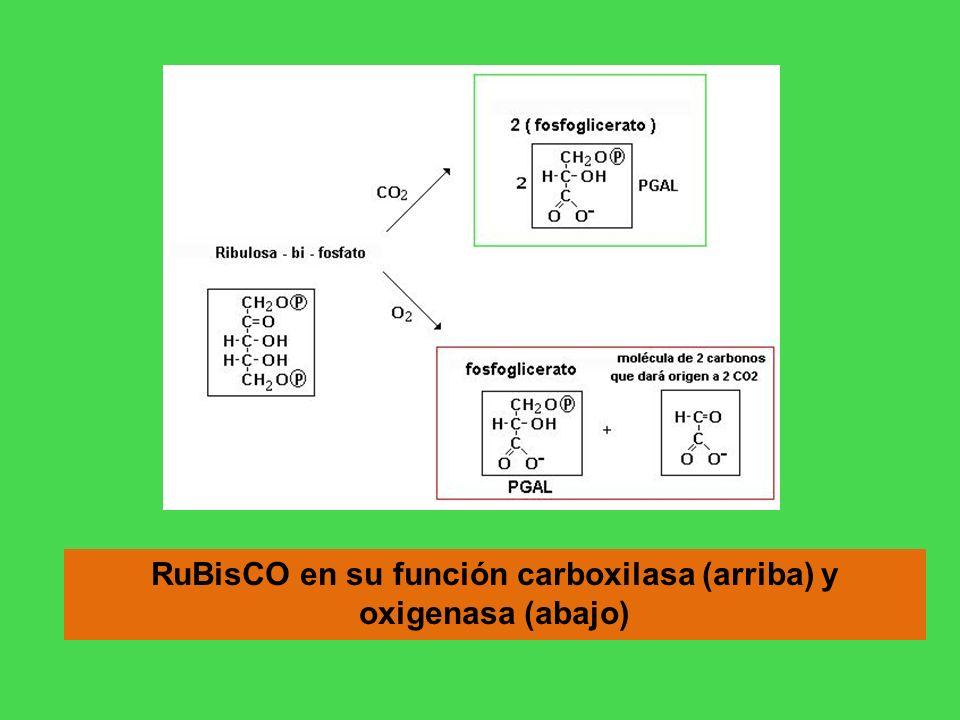 RuBisCO en su función carboxilasa (arriba) y oxigenasa (abajo)