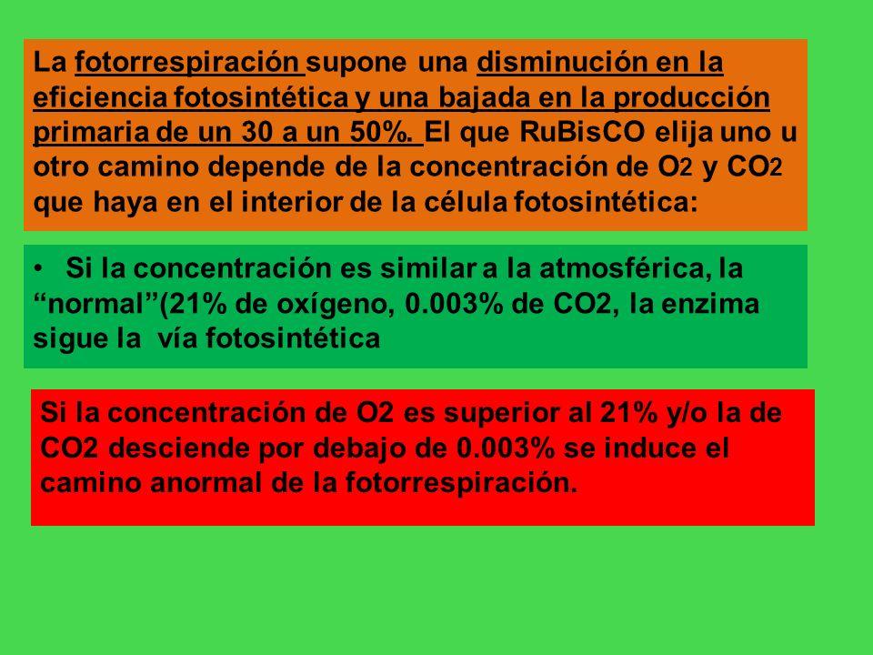 La fotorrespiración supone una disminución en la eficiencia fotosintética y una bajada en la producción primaria de un 30 a un 50%. El que RuBisCO elija uno u otro camino depende de la concentración de O2 y CO2 que haya en el interior de la célula fotosintética: