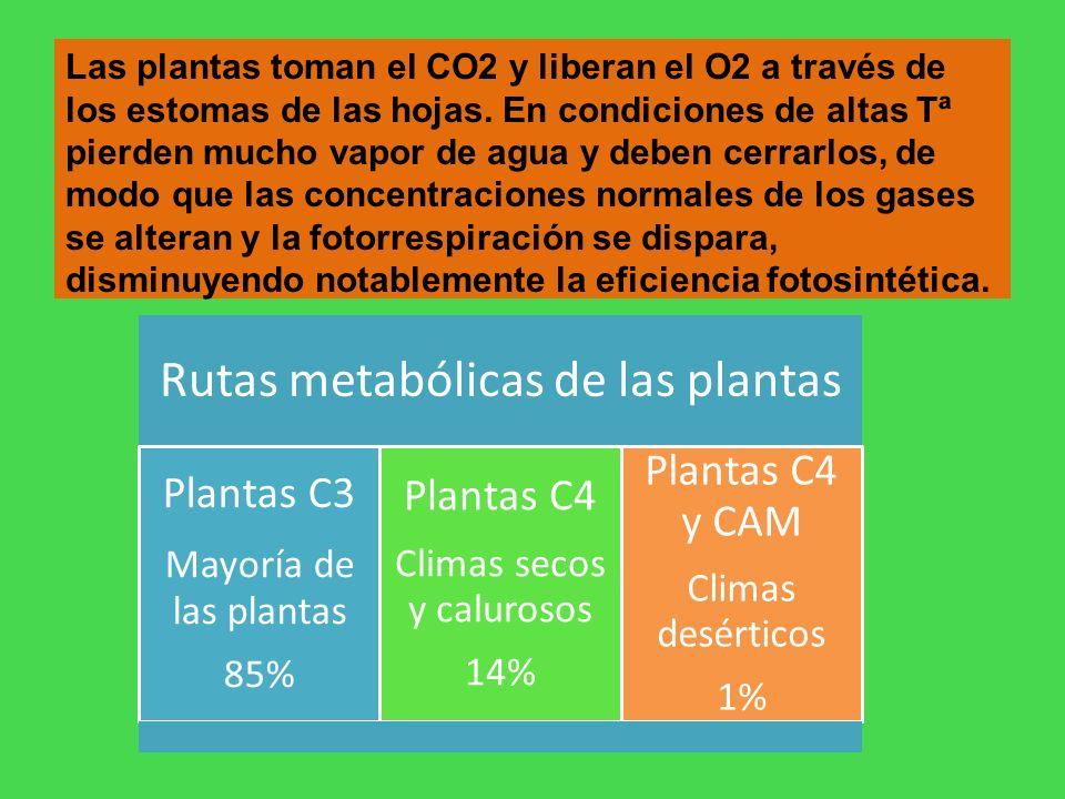 Plantas C4 y CAM Plantas C4 Plantas C3 Climas secos y calurosos