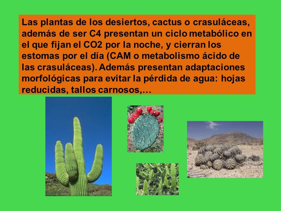 Las plantas de los desiertos, cactus o crasuláceas, además de ser C4 presentan un ciclo metabólico en el que fijan el CO2 por la noche, y cierran los estomas por el día (CAM o metabolismo ácido de las crasuláceas).