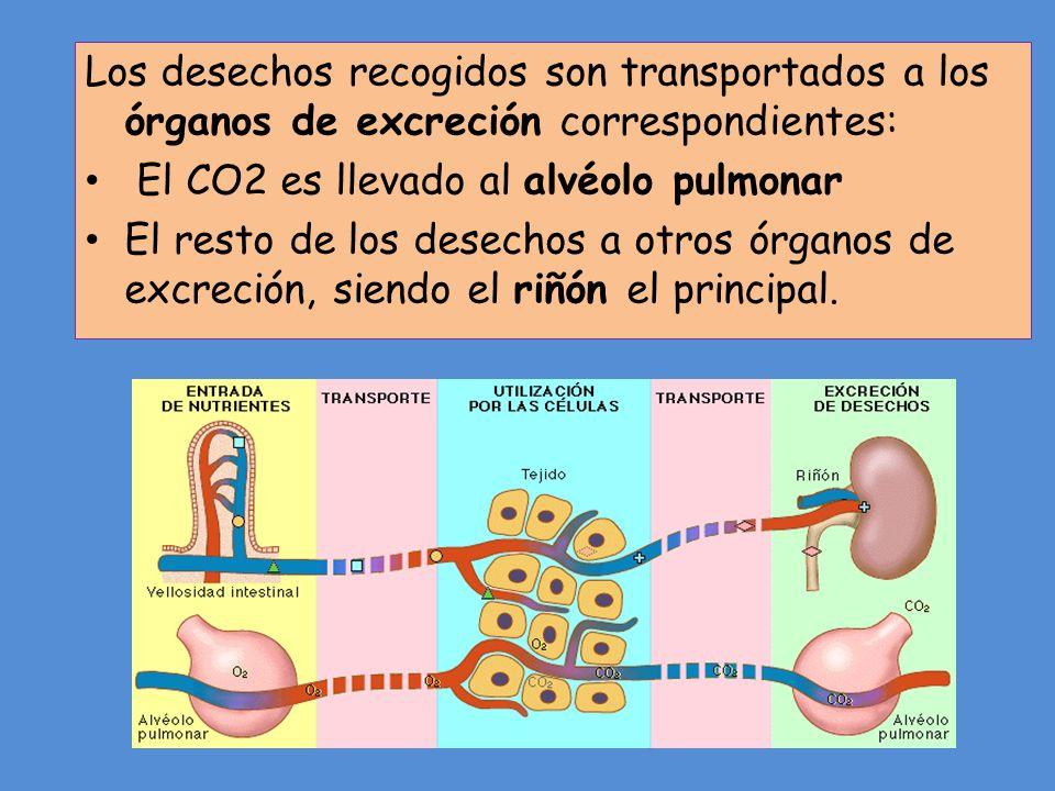Los desechos recogidos son transportados a los órganos de excreción correspondientes: