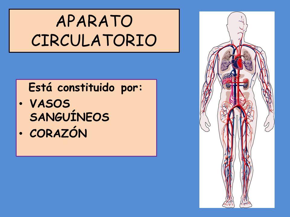 APARATO CIRCULATORIO Está constituido por: VASOS SANGUÍNEOS CORAZÓN
