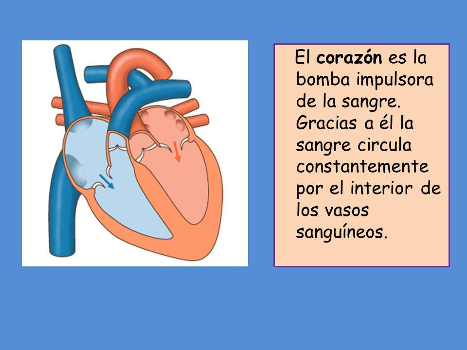 El corazón es la bomba impulsora de la sangre
