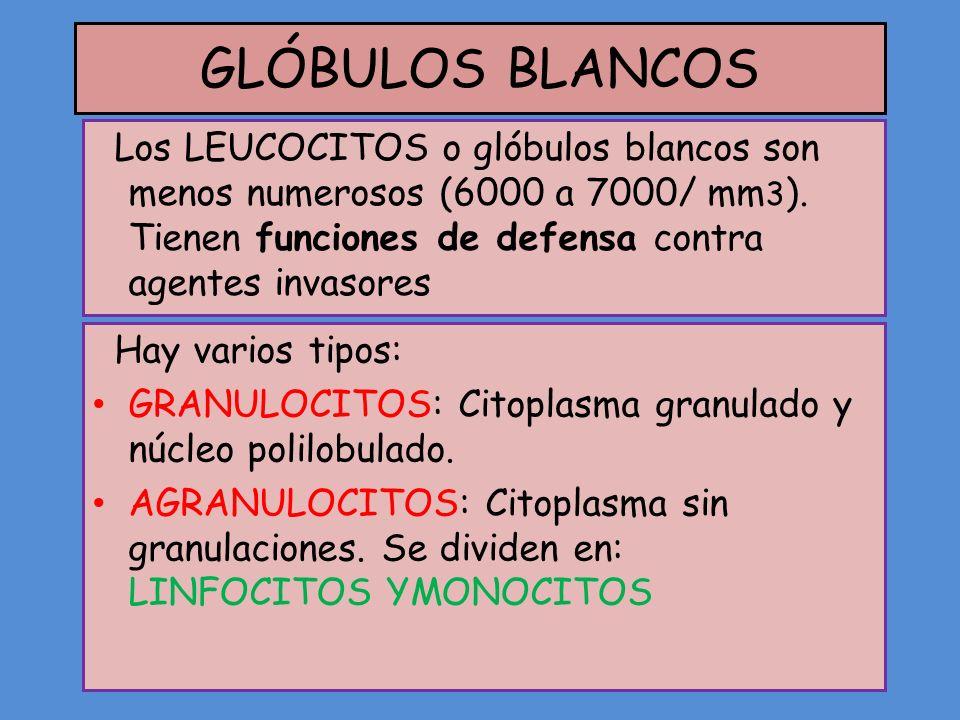 GLÓBULOS BLANCOS Los LEUCOCITOS o glóbulos blancos son menos numerosos (6000 a 7000/ mm3). Tienen funciones de defensa contra agentes invasores.