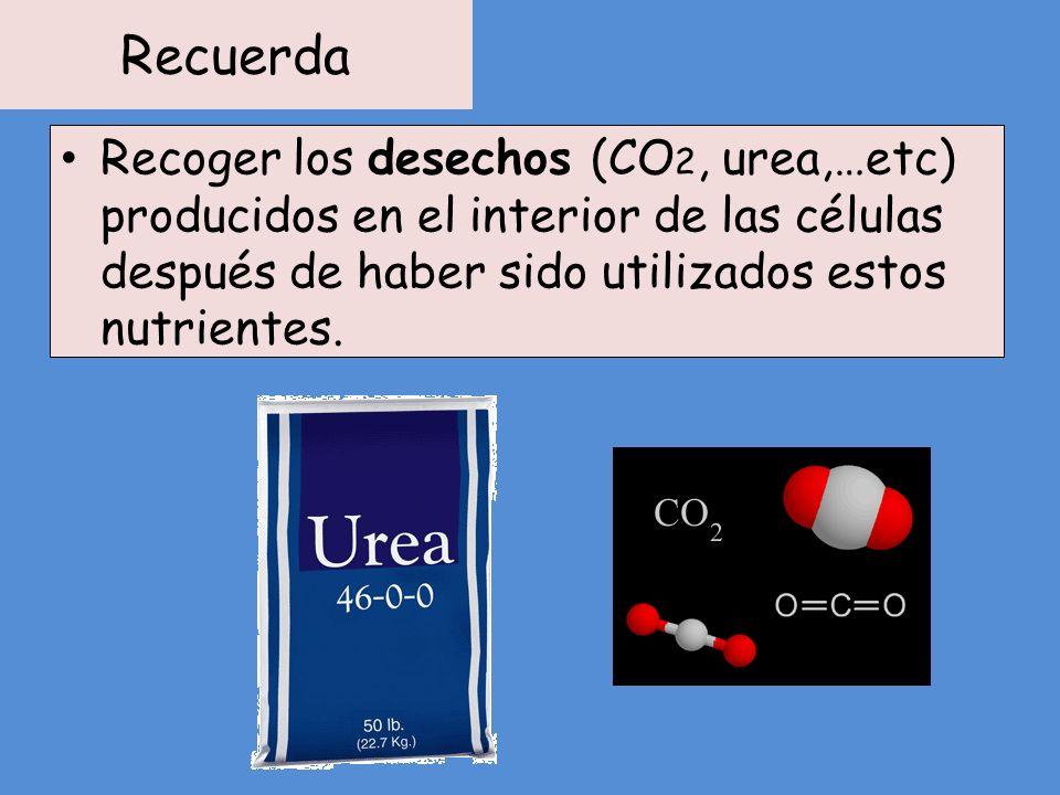 Recuerda Recoger los desechos (CO2, urea,…etc) producidos en el interior de las células después de haber sido utilizados estos nutrientes.