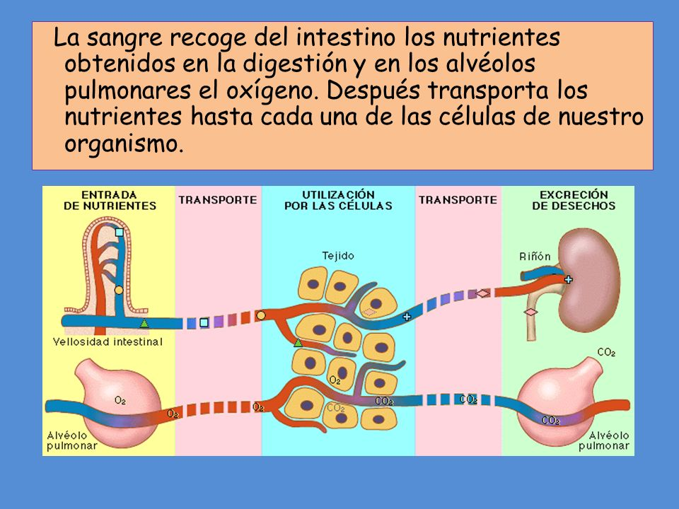 La sangre recoge del intestino los nutrientes obtenidos en la digestión y en los alvéolos pulmonares el oxígeno.