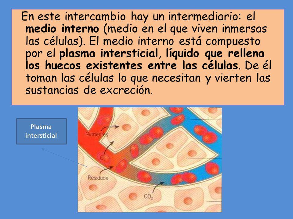 En este intercambio hay un intermediario: el medio interno (medio en el que viven inmersas las células). El medio interno está compuesto por el plasma intersticial, líquido que rellena los huecos existentes entre las células. De él toman las células lo que necesitan y vierten las sustancias de excreción.