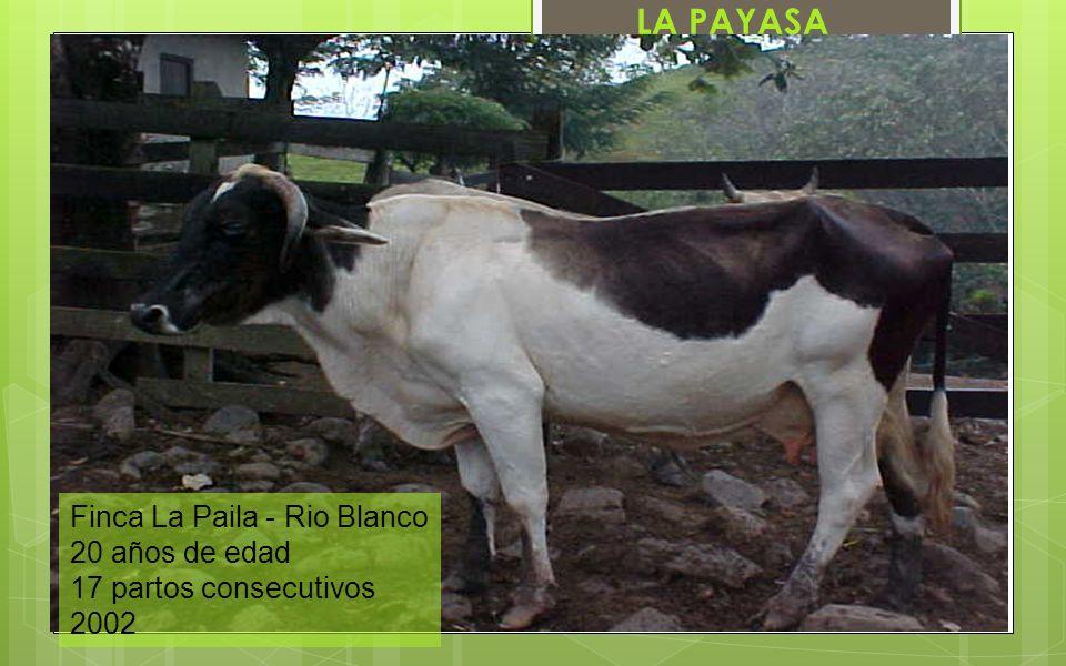 LA PAYASA Finca La Paila - Rio Blanco 20 años de edad