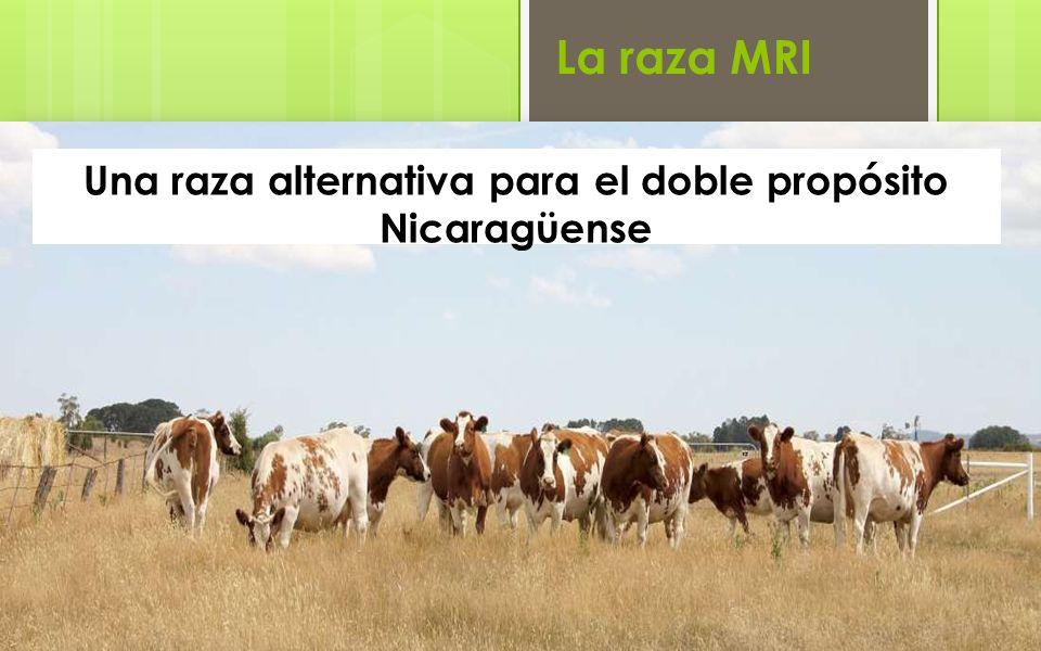 Una raza alternativa para el doble propósito Nicaragüense