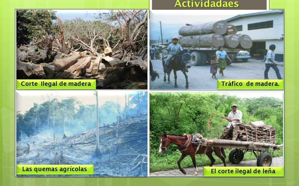 Actividadaes Corte Ilegal de madera Tráfico de madera.
