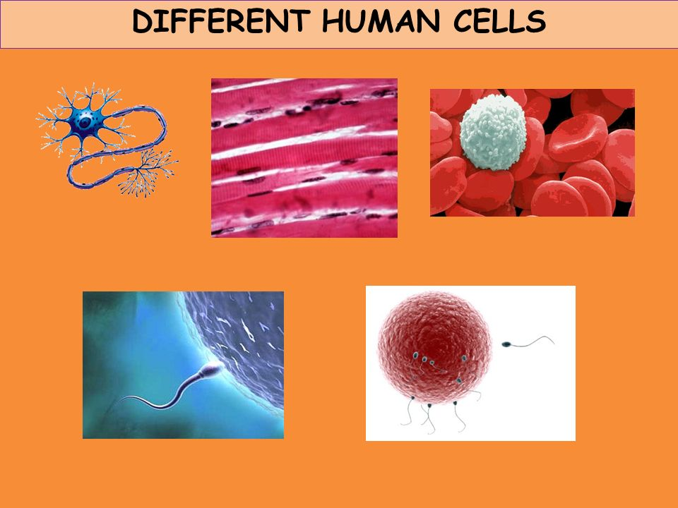 DIFFERENT HUMAN CELLS