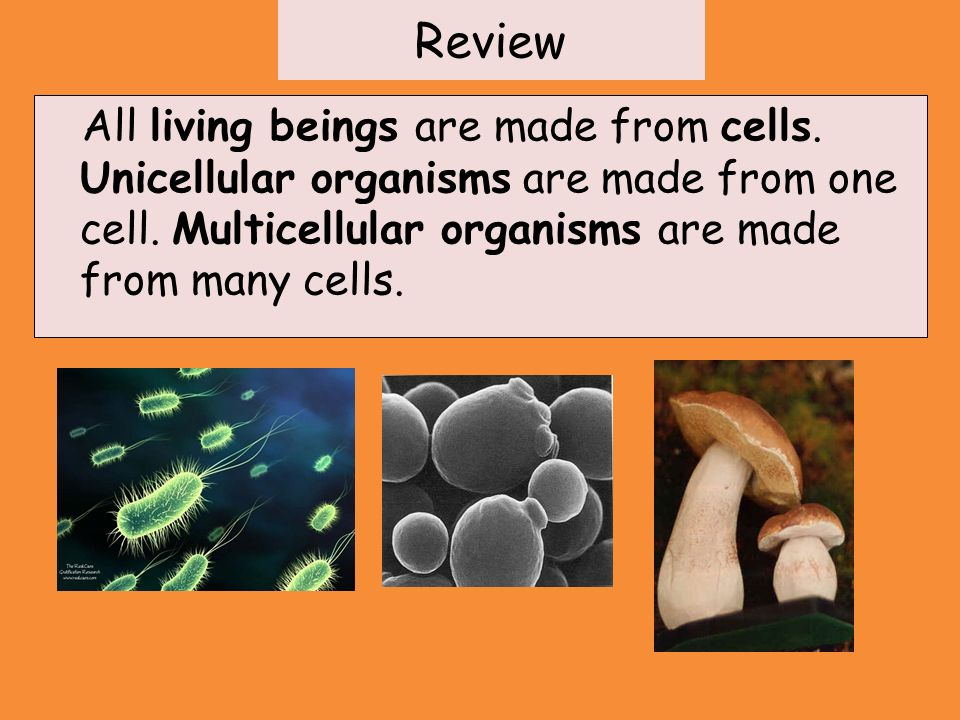 Review All living beings are made from cells. Unicellular organisms are made from one cell.