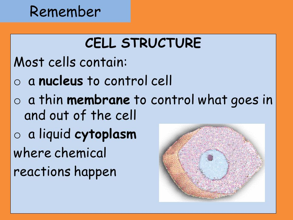 Remember CELL STRUCTURE Most cells contain: a nucleus to control cell