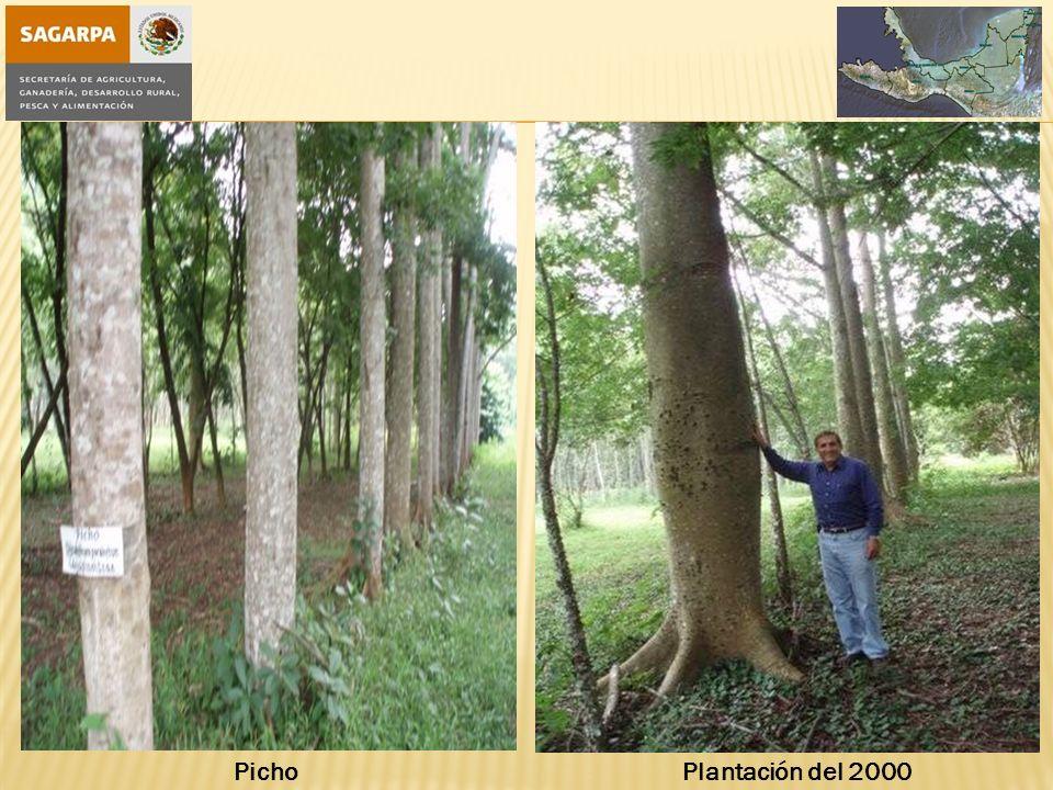Picho Plantación del 2000